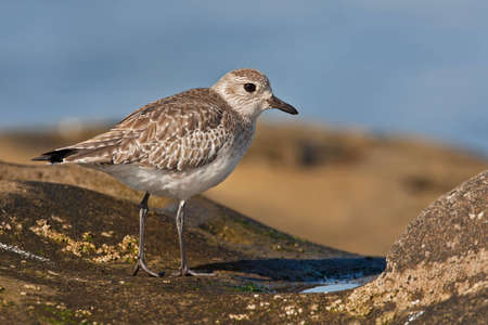 waterbird: Black-bellied plover, also known as the grey plover, in winter plumage on rocky seashore. Stock Photo