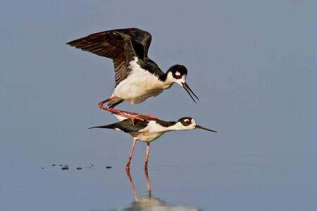 stilts: Pair of Black-necked Stilts preparing to mate. Stock Photo