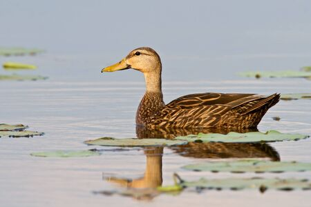 dabbling: Mottled duck swimming in lake surrounded by lily pads. Stock Photo
