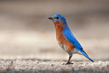 eastern bluebird: Eastern Bluebird standing on gravel road.