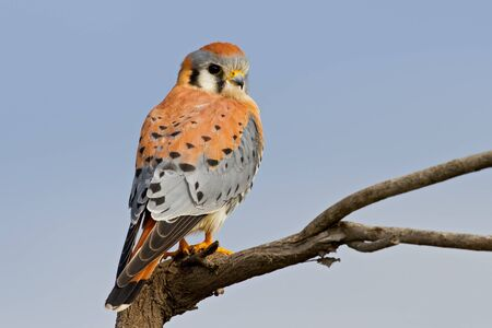 sparrowhawk: Adult male american kestrel perched on branch.