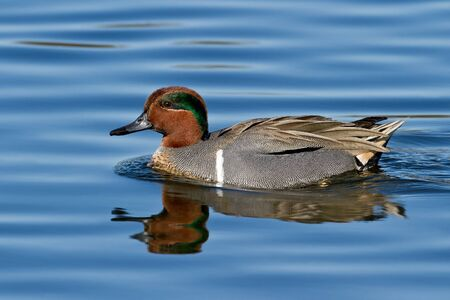 dabbling: Adult drake green-winged teal swimming on blue water.