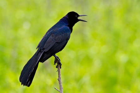 blackbird: Male boat-tailed grackle perched on a thin stick against a green background.