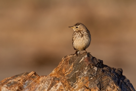American pipet, or buff-bellied pipet,  standing on a rock. Banco de Imagens