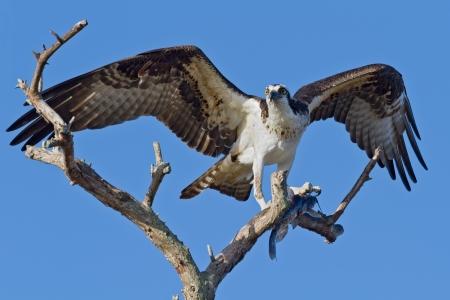 osprey bird: Osprey perched in a tree with fish and wings spread.