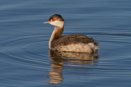 Horned Grebe, also known as Slavonian Grebe, in primary plumage swimming in blue water.