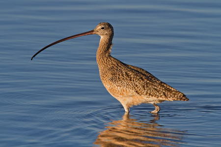 Long-billed Curlew, also known as sicklebird and candlestick bird, wading in blue water. 版權商用圖片