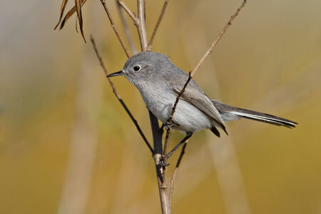 Blue-gray Gnatcatcher perched on a small branch.