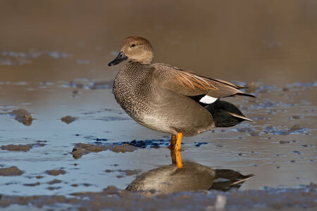 dabbling: Adult Gadwall standing in shallow water in a pond.