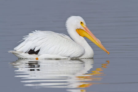 American white pelican swimming on pond with reflection