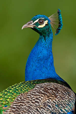 indian peafowl: Indian peacock portrait against a soft green