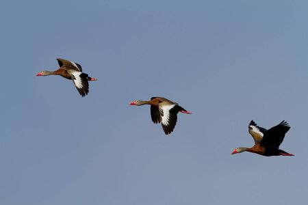 water fowl: Three Black-belied Whistling Ducks Flying against a clear blue sky. Stock Photo