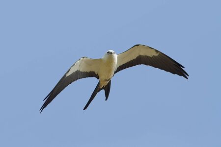 animal kite: Swallow-tailed Kite flying against a blue sky background
