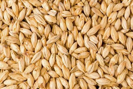 Background texture of brewers two row malt grains.