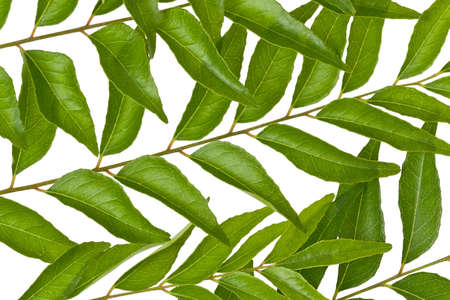 aromatic: Several fresh curry leaves against a white background.