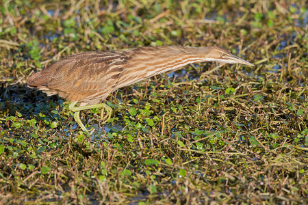 American Bittern with neck stretched, foraging in wetlands.