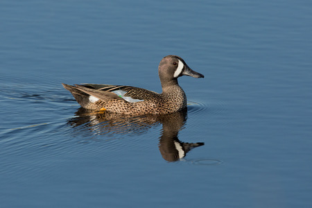 Blue-winged Teal swimming.