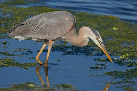 Great Blue Heron foraging in wetlands.