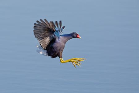 Purple Gallinule in flight.