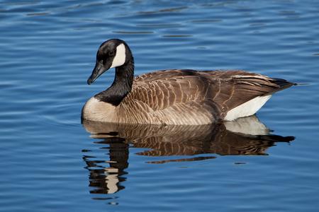 Canada Goose swimming in pond. Stok Fotoğraf