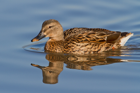 Mallard Hen swimming in pond. Stok Fotoğraf