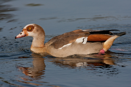 Egyptian Goose swimming in pond water. Stok Fotoğraf