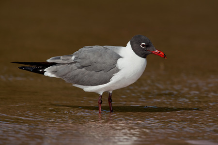 Laughing Gull standing in shallow water.