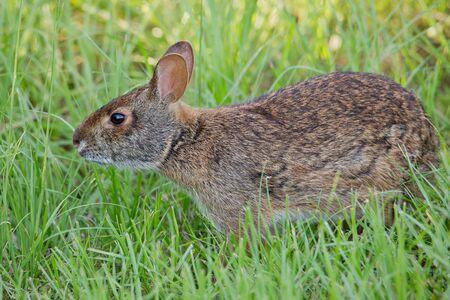 Florida Marsh Rabbit foraging in grass.