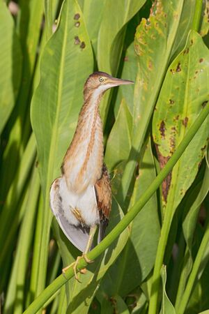 Least Bittern perched on reed with one leg.