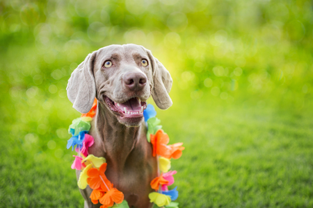 Portrait of a weimaraner breed dog, with Hawaiian collar on his neck. Isolated on green bokeh. Weimar brace.