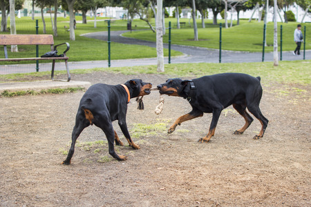 Two dogs doberman playing in the animal park with a rope that both bite with their snouts. Фото со стока