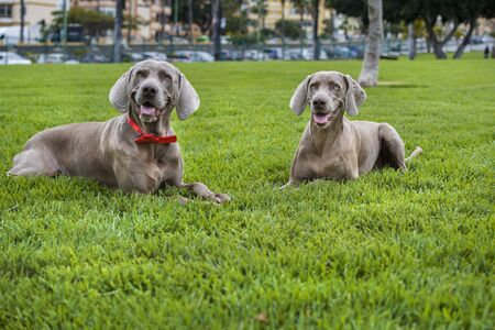 dog weimaraner two portrait vitality animal animals purebred meadow autumnal autumn hunter gundog cain pet pets hunt hunting hunting hero pedigree breed country meadow mammal friend t- grass, landscape, park, nature, bravo, wild, outdoor, leash, colorful, beautiful,