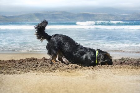 Dog playing to dig a hole in the sand on the beach.