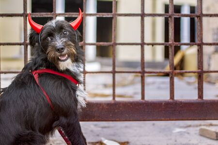 Black dog, sitting next to a fence, disguised as devil with red horns on halloween. Standard-Bild