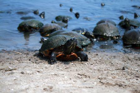 disregard: Group of Turtles on shoreline
