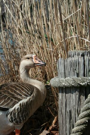Goose standing next to wooden post in front of grass Stock Photo