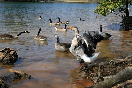 Ruffled Feathers Stock Photo