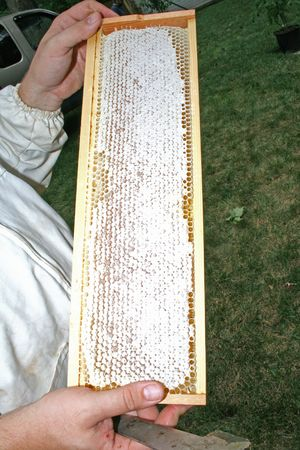honey comb: Bee Keeper holding Honey Comb in Frame
