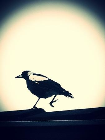 strut: Walking magpie Stock Photo