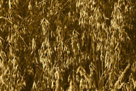 haver veld: Oat veld bij zonsondergang