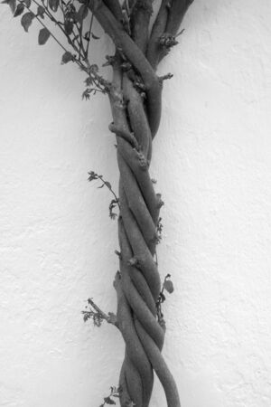 glycine: Entwined branches