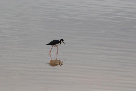 wading: Wading Bird