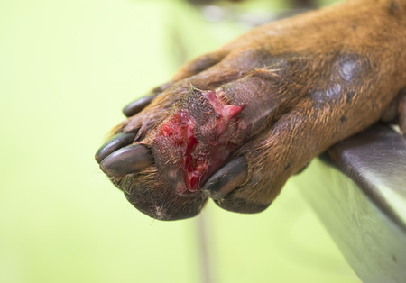 wound in paw of dog