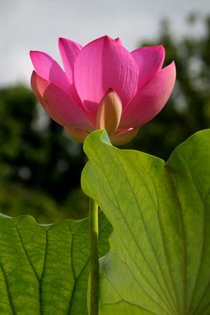 Pink Lotus in Bloom photo