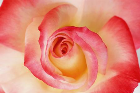 variegated: Variegated Rose Stock Photo