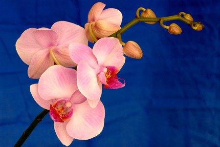 Pink Orchid on Blue Background photo