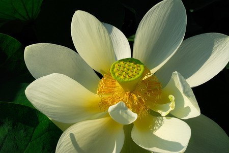 Open Lotus Flower