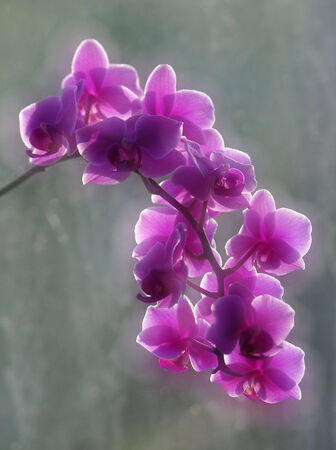Double exposure of pink orchids Фото со стока