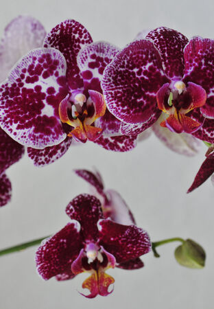 Purple and pink orchid bunch
