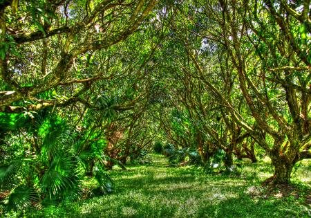Mango farm Archivio Fotografico